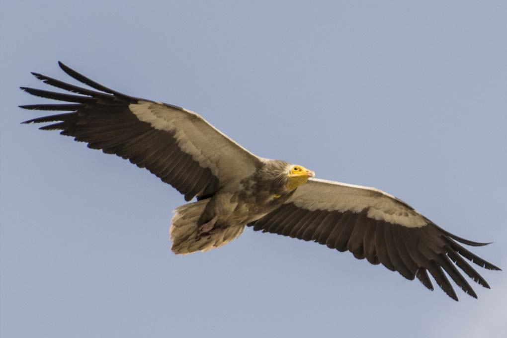 Egyptian Vulture on the wing India - free stock photography